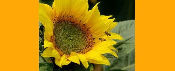 Piqûre de guêpe ou d'abeille : que faire ?